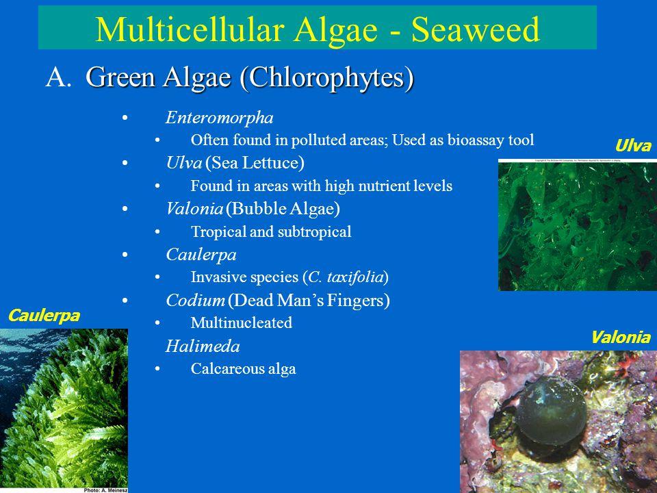 Multicellular Algae - Seaweed Green Algae (Chlorophytes) A. Green Algae (Chlorophytes) Enteromorpha Often found in polluted areas; Used as bioassay to