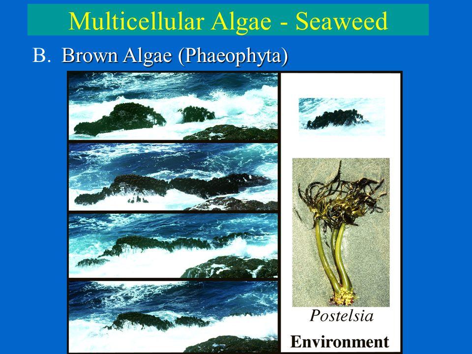 Multicellular Algae - Seaweed Brown Algae (Phaeophyta) B. Brown Algae (Phaeophyta)