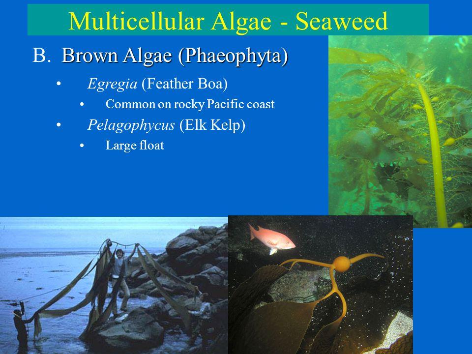 Multicellular Algae - Seaweed Brown Algae (Phaeophyta) B. Brown Algae (Phaeophyta) Egregia (Feather Boa) Common on rocky Pacific coast Pelagophycus (E