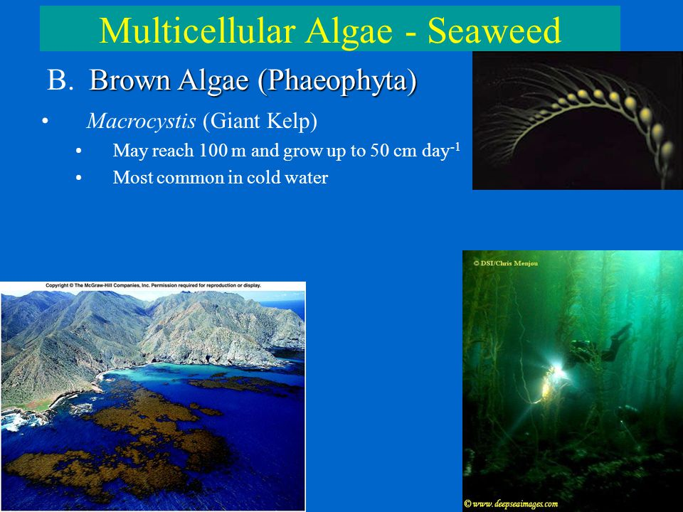 Multicellular Algae - Seaweed Brown Algae (Phaeophyta) B. Brown Algae (Phaeophyta) Macrocystis (Giant Kelp) May reach 100 m and grow up to 50 cm day -