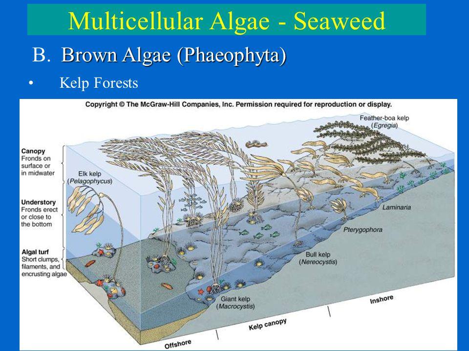 Multicellular Algae - Seaweed Brown Algae (Phaeophyta) B. Brown Algae (Phaeophyta) Kelp Forests