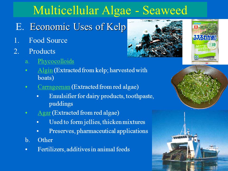 Multicellular Algae - Seaweed Economic Uses of Kelp E. Economic Uses of Kelp 1.Food Source 2.Products a.Phycocolloids Algin (Extracted from kelp; harv