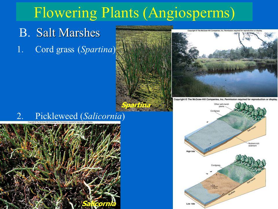 Flowering Plants (Angiosperms) Salt Marshes B. Salt Marshes 1.Cord grass (Spartina) 2.Pickleweed (Salicornia) Spartina Salicornia