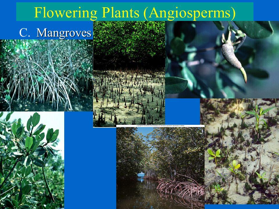 Flowering Plants (Angiosperms) Mangroves C. Mangroves