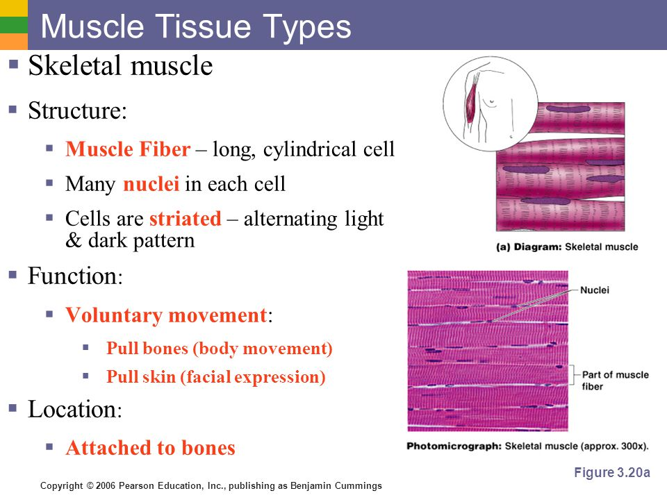 Copyright © 2006 Pearson Education, Inc., publishing as Benjamin Cummings Muscle Tissue Types  Cardiac muscle  Structure:  Cells are striated  One nucleus per cell  Cells joined end-to-end with intercalated disk in-between.