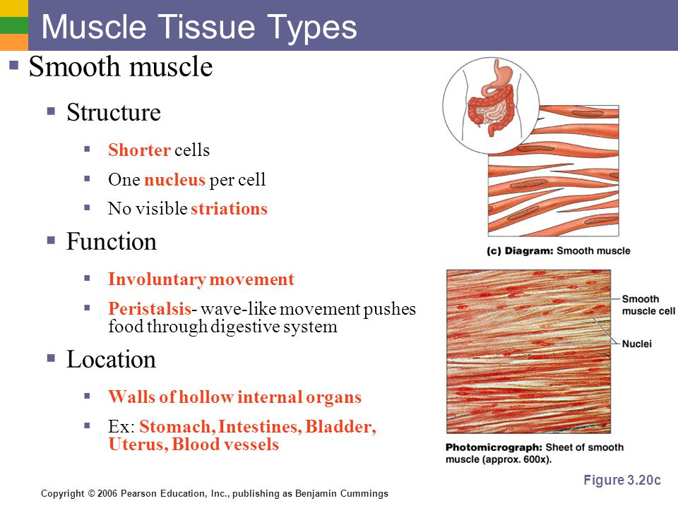 Copyright © 2006 Pearson Education, Inc., publishing as Benjamin Cummings Muscle Tissue Types  Smooth muscle  Structure  Shorter cells  One nucleu