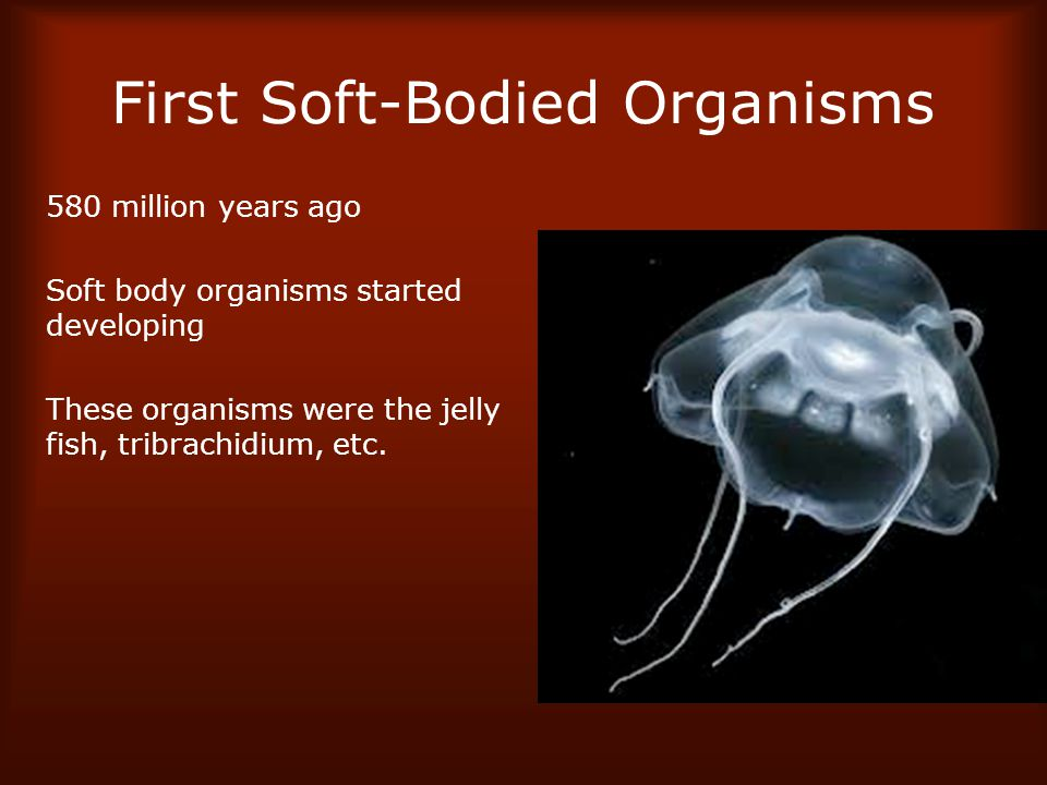 First Soft-Bodied Organisms 580 million years ago Soft body organisms started developing These organisms were the jelly fish, tribrachidium, etc.