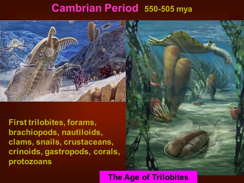 Cambrian Period 550-505 mya First trilobites, forams, brachiopods, nautiloids, clams, snails, crustaceans, crinoids, gastropods, corals, protozoans Stromatolites The Age of Trilobites
