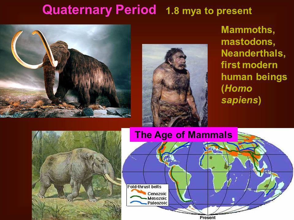 Quaternary Period 1.8 mya to present Mammoths, mastodons, Neanderthals, first modern human beings (Homo sapiens) The Age of Mammals