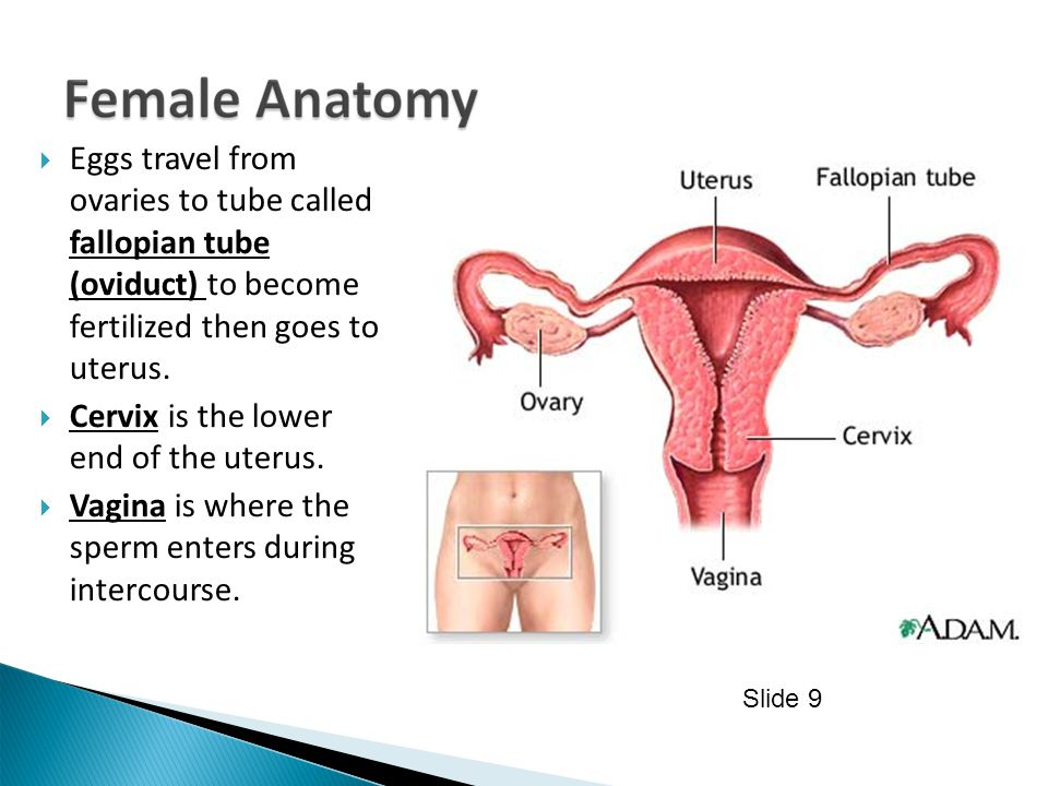  Eggs travel from ovaries to tube called fallopian tube (oviduct) to become fertilized then goes to uterus.