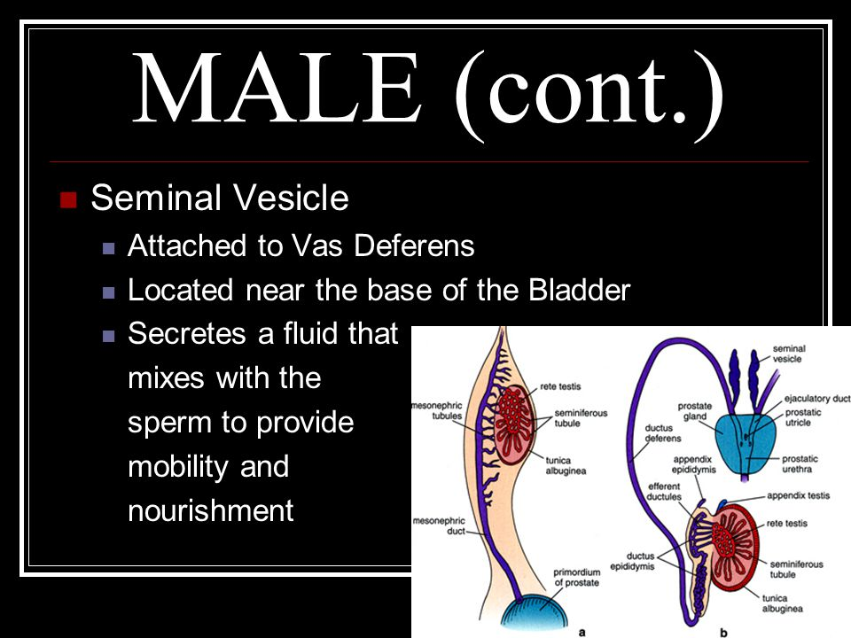 MALE (cont.) Seminal Vesicle Attached to Vas Deferens Located near the base of the Bladder Secretes a fluid that mixes with the sperm to provide mobil