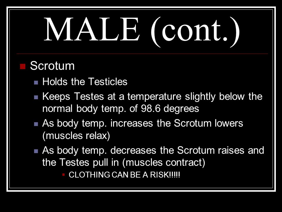 MALE (cont.) Scrotum Holds the Testicles Keeps Testes at a temperature slightly below the normal body temp. of 98.6 degrees As body temp. increases th