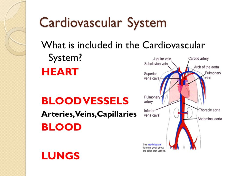 Cardiovascular System What is included in the Cardiovascular System? HEART BLOOD VESSELS Arteries,Veins,Capillaries BLOOD LUNGS