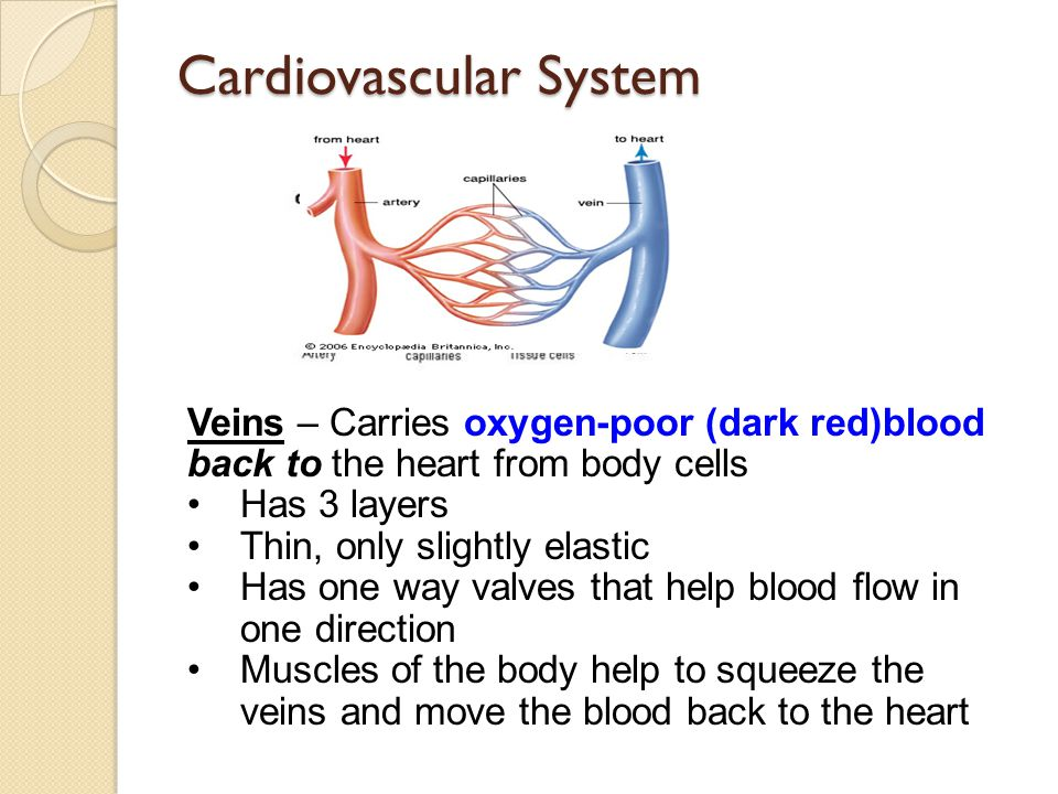 Cardiovascular System Veins – Carries oxygen-poor (dark red)blood back to the heart from body cells Has 3 layers Thin, only slightly elastic Has one w