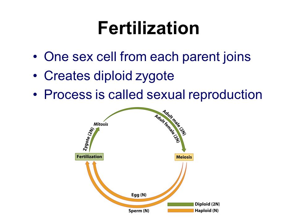 Fertilization One sex cell from each parent joins Creates diploid zygote Process is called sexual reproduction