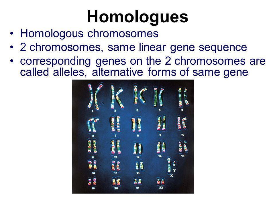 Homologues Homologous chromosomes 2 chromosomes, same linear gene sequence corresponding genes on the 2 chromosomes are called alleles, alternative fo