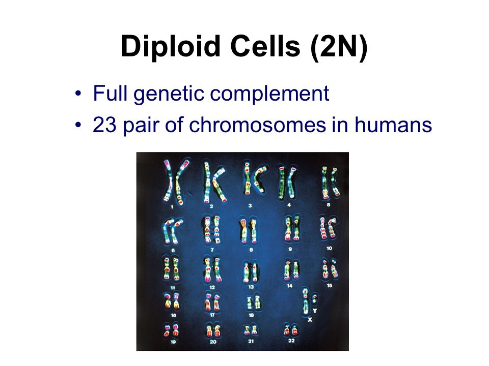Diploid Cells (2N) Full genetic complement 23 pair of chromosomes in humans