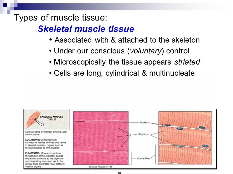 Types of muscle tissue: Skeletal muscle tissue Associated with & attached to the skeleton Under our conscious (voluntary) control Microscopically the