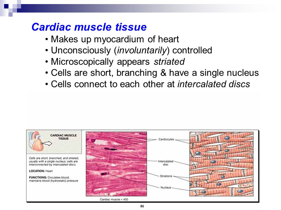 Cardiac muscle tissue Makes up myocardium of heart Unconsciously (involuntarily) controlled Microscopically appears striated Cells are short, branchin