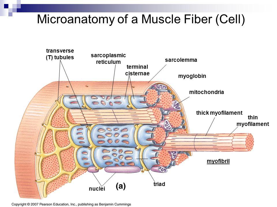 Microanatomy of a Muscle Fiber (Cell) sarcolemma transverse (T) tubules sarcoplasmic reticulum terminal cisternae myofibril thin myofilament thick myo