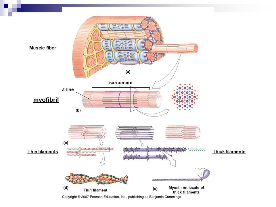 Muscle fiber myofibril Thin filamentsThick filaments Thin filament Myosin molecule of thick filaments sarcomere Z-line