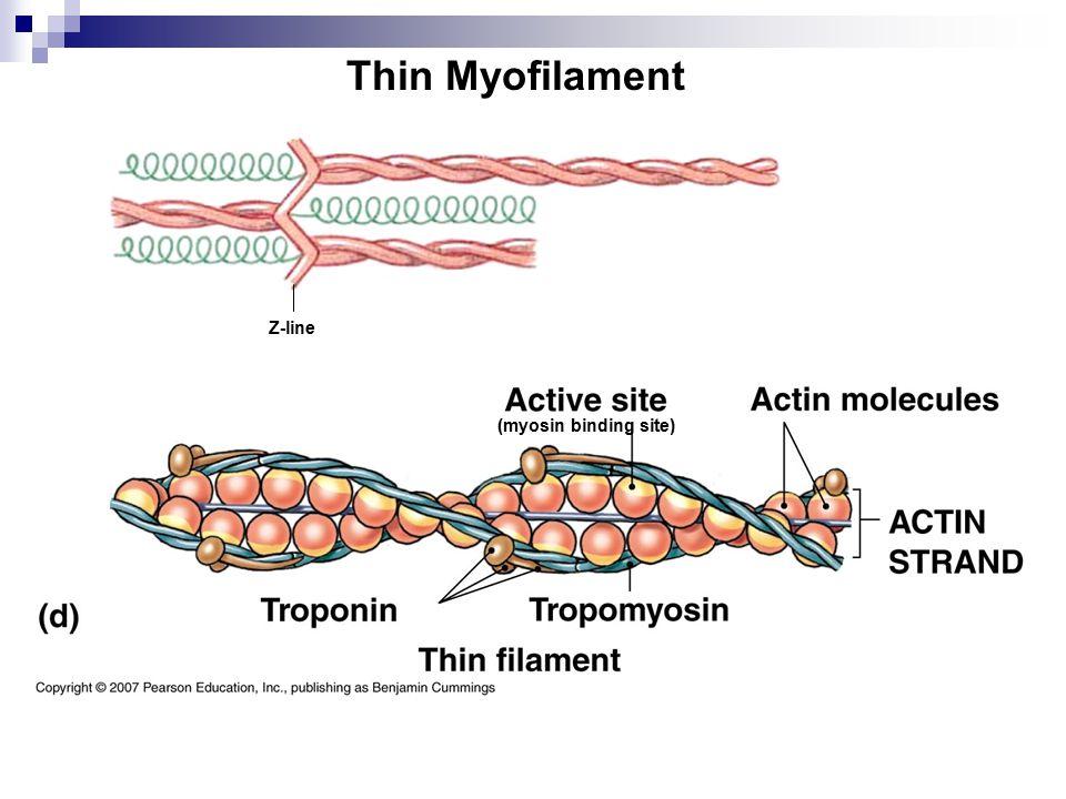 Thin Myofilament (myosin binding site) Z-line