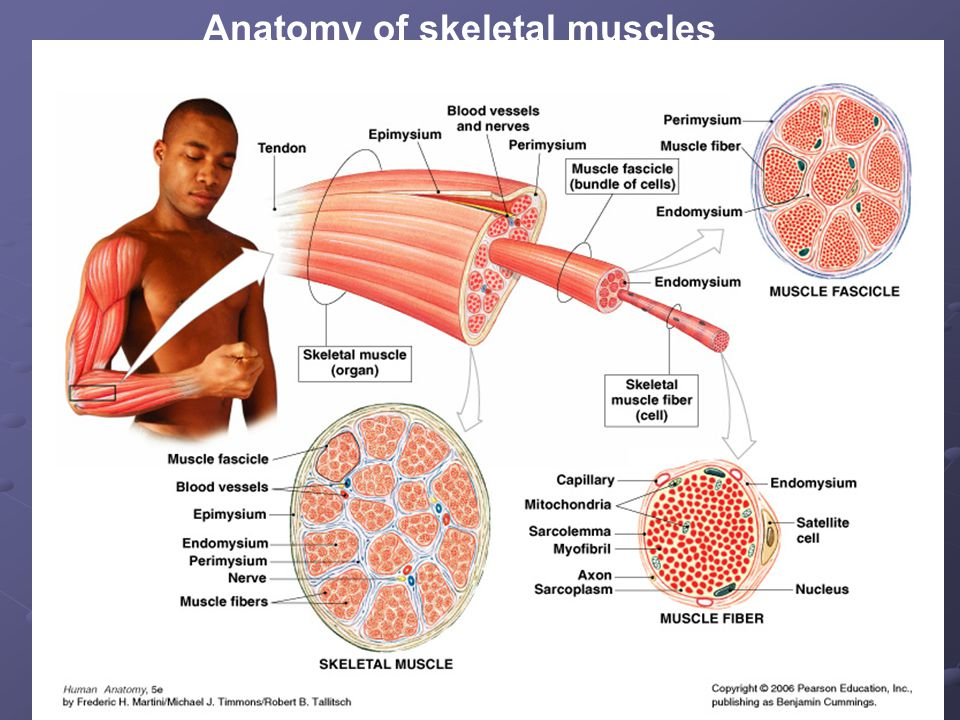 Anatomy of the Muscular System Origin -Muscle attachment that remains fixed Insertion - Muscle attachment that moves Action -What movement a muscle produces.