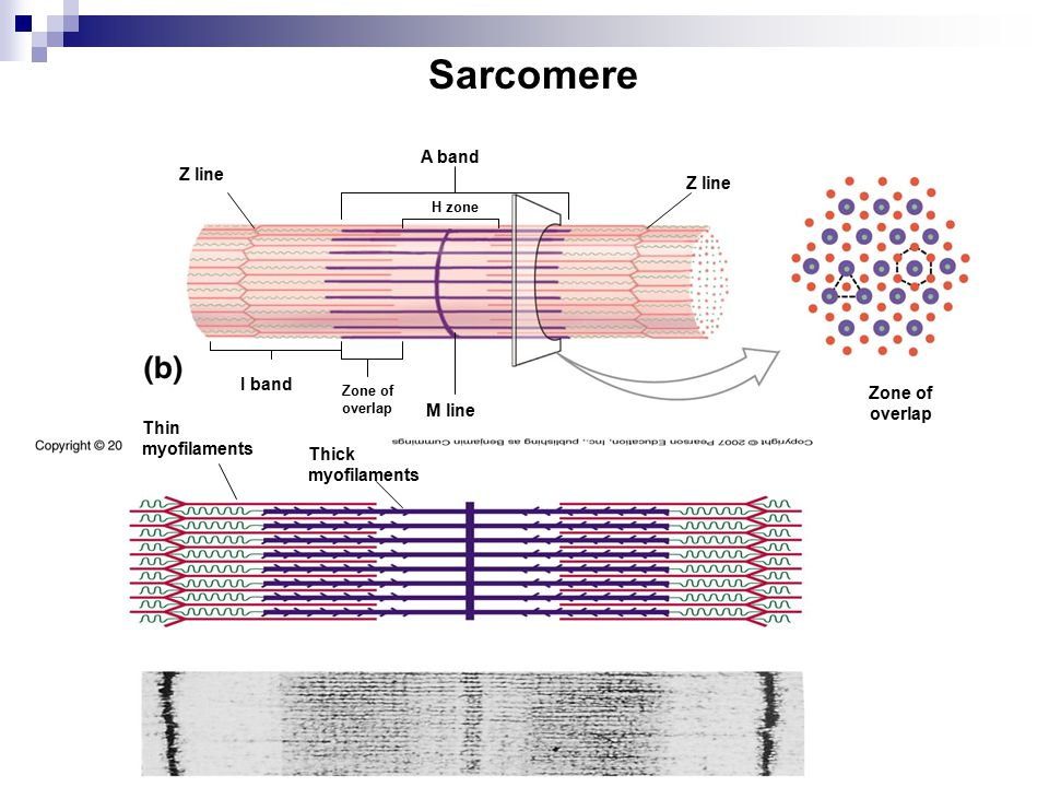 Sarcomere z Line a Band h Zone