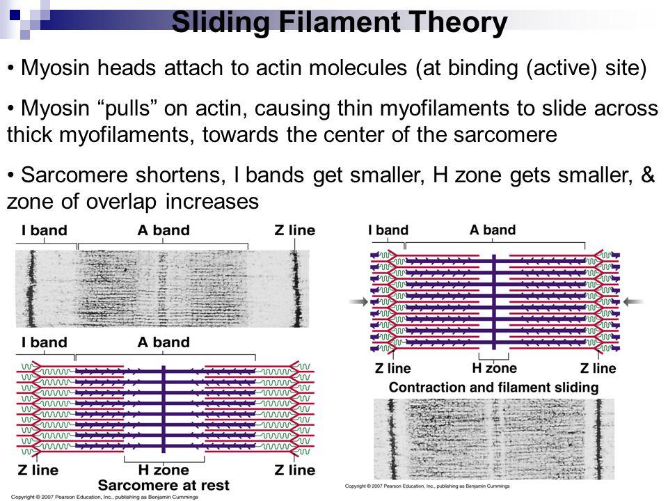"Sliding Filament Theory Myosin heads attach to actin molecules (at binding (active) site) Myosin ""pulls"" on actin, causing thin myofilaments to slide"