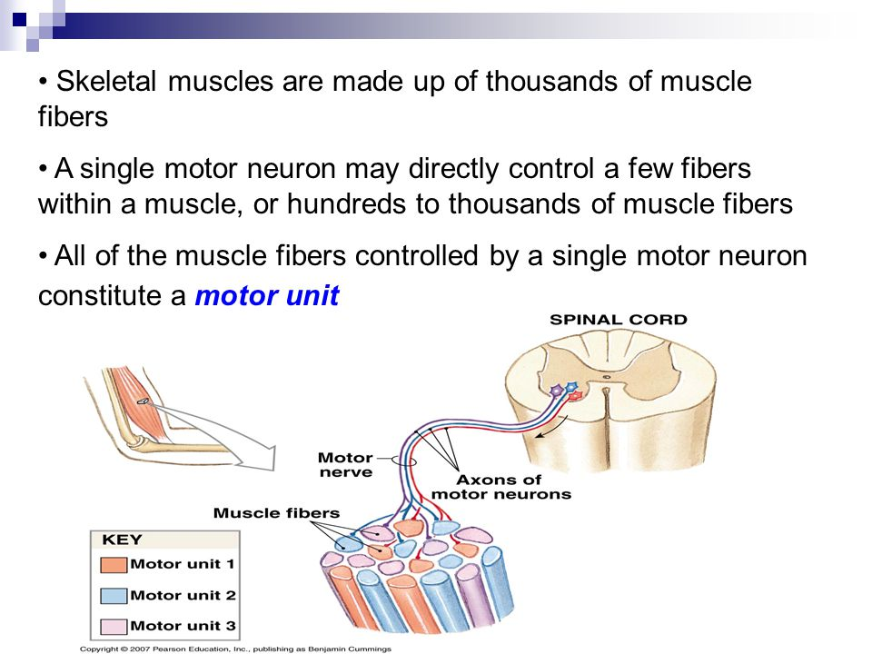 Skeletal muscles are made up of thousands of muscle fibers A single motor neuron may directly control a few fibers within a muscle, or hundreds to tho