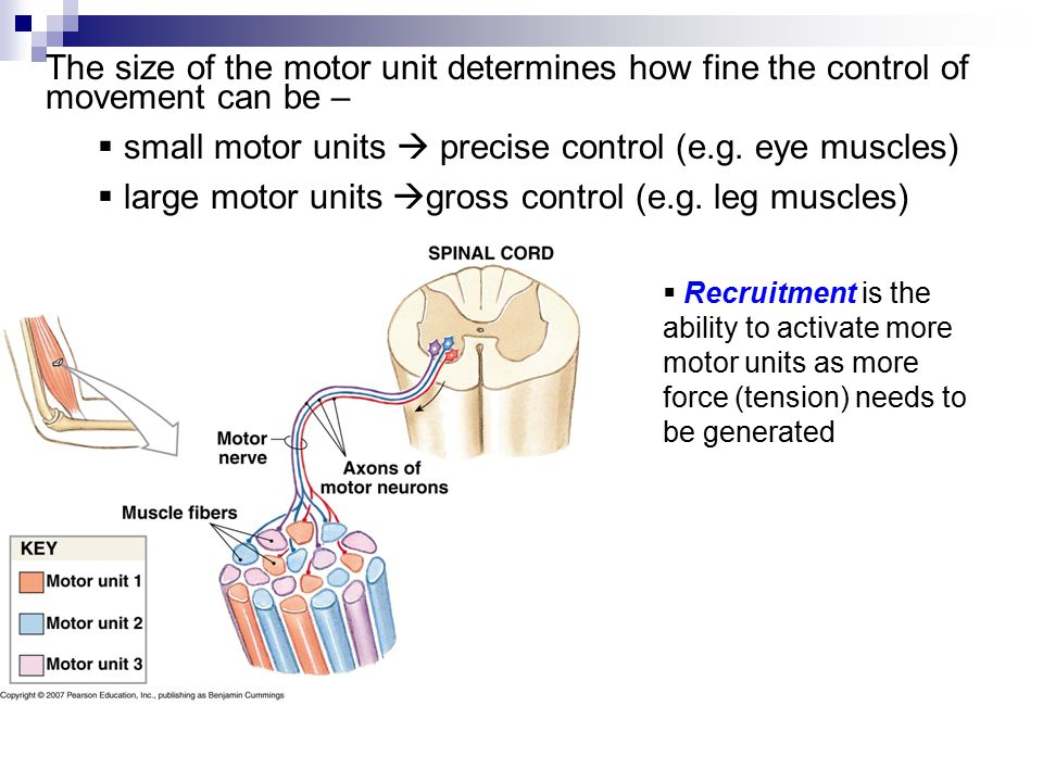 The size of the motor unit determines how fine the control of movement can be –  small motor units  precise control (e.g. eye muscles)  large motor