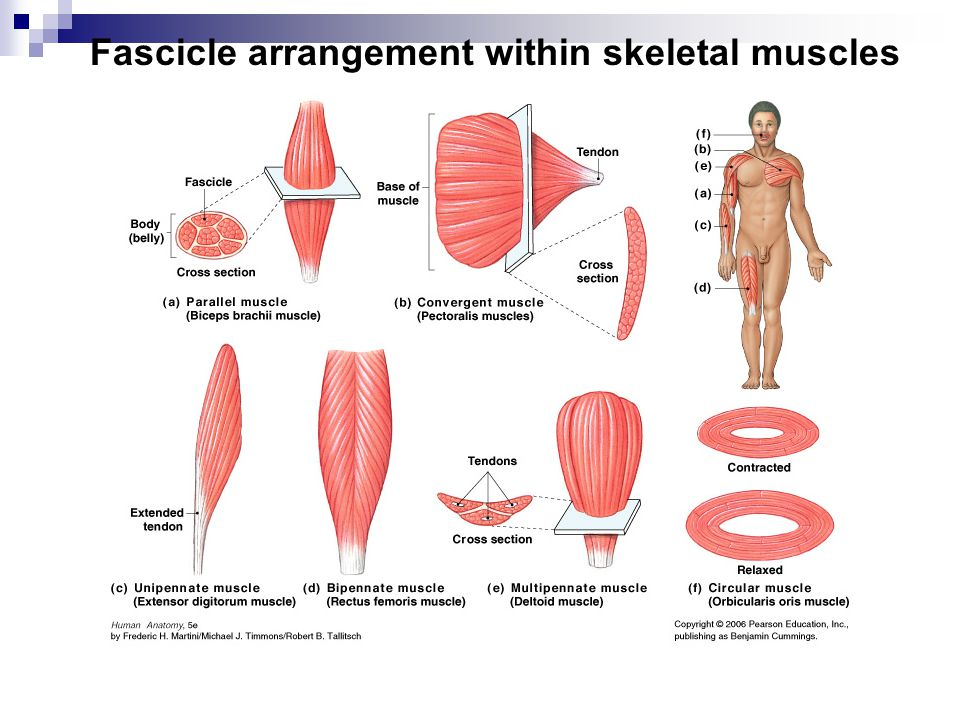 Fascicle arrangement within skeletal muscles
