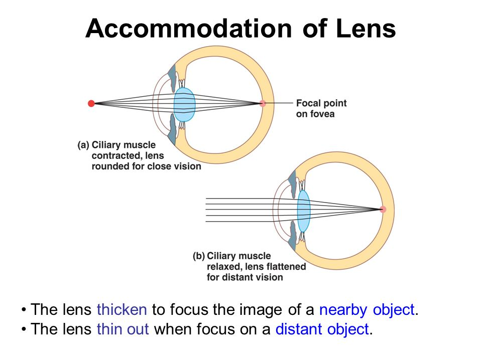 Accommodation of Lens The lens thicken to focus the image of a nearby object.