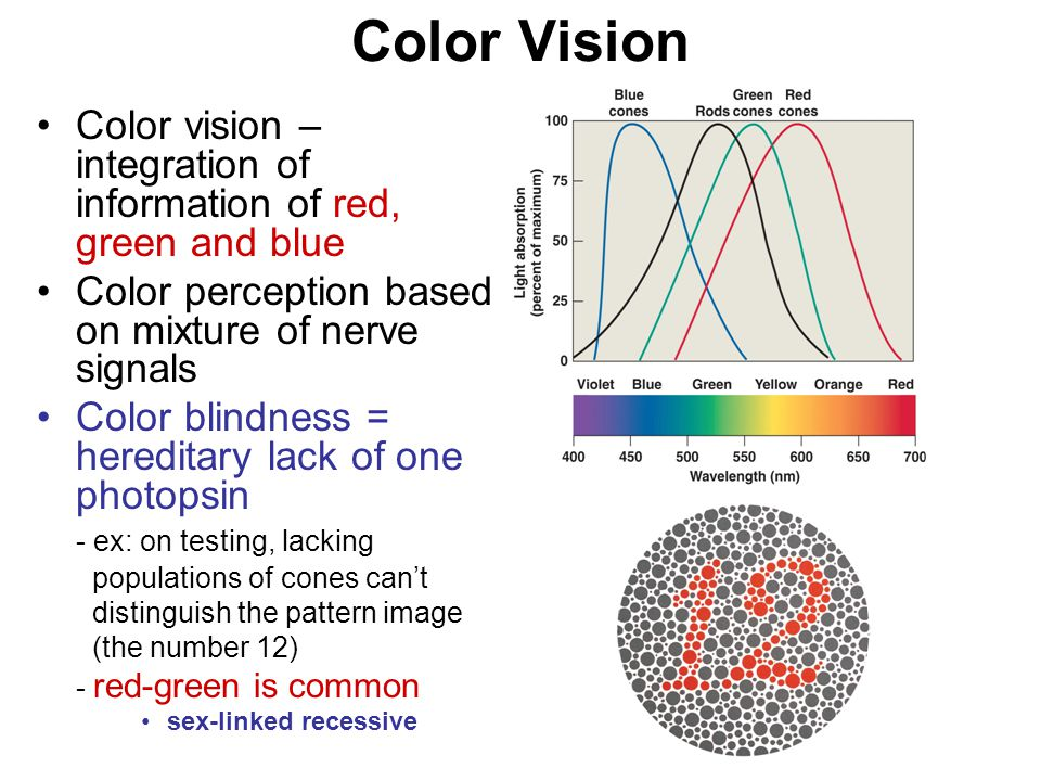 Color Vision Color vision – integration of information of red, green and blue Color perception based on mixture of nerve signals Color blindness = hereditary lack of one photopsin - ex: on testing, lacking populations of cones can't distinguish the pattern image (the number 12) - red-green is common sex-linked recessive