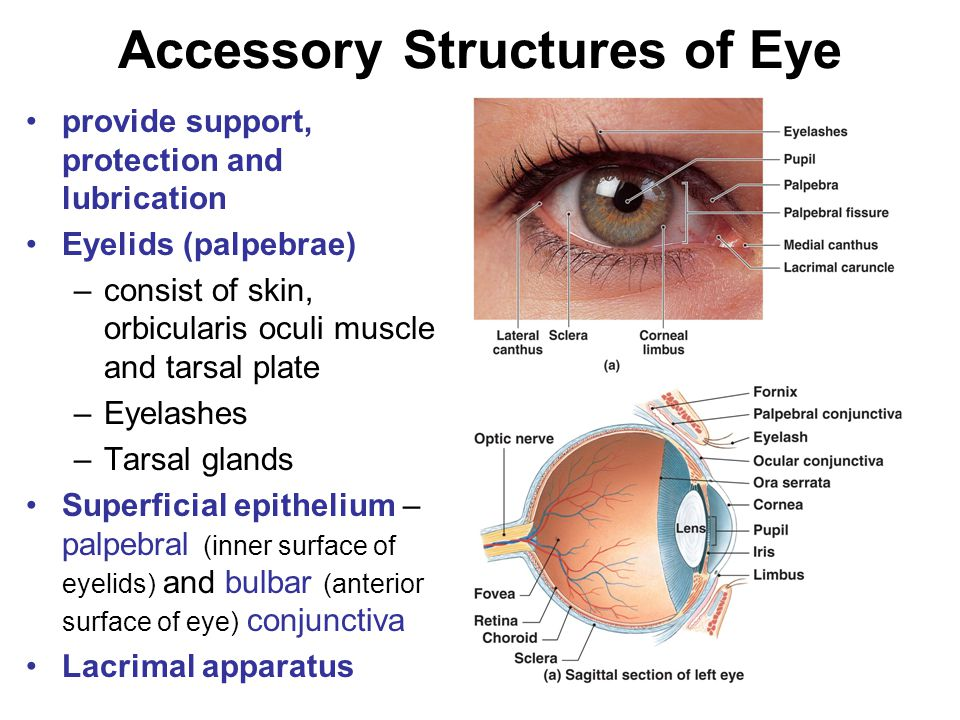 Accessory Structures of Eye provide support, protection and lubrication Eyelids (palpebrae) –consist of skin, orbicularis oculi muscle and tarsal plate –Eyelashes –Tarsal glands Superficial epithelium – palpebral (inner surface of eyelids) and bulbar (anterior surface of eye) conjunctiva Lacrimal apparatus