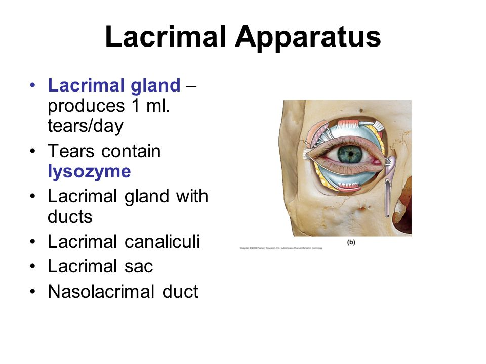 Lacrimal Apparatus Lacrimal gland – produces 1 ml. tears/day Tears contain lysozyme Lacrimal gland with ducts Lacrimal canaliculi Lacrimal sac Nasolac