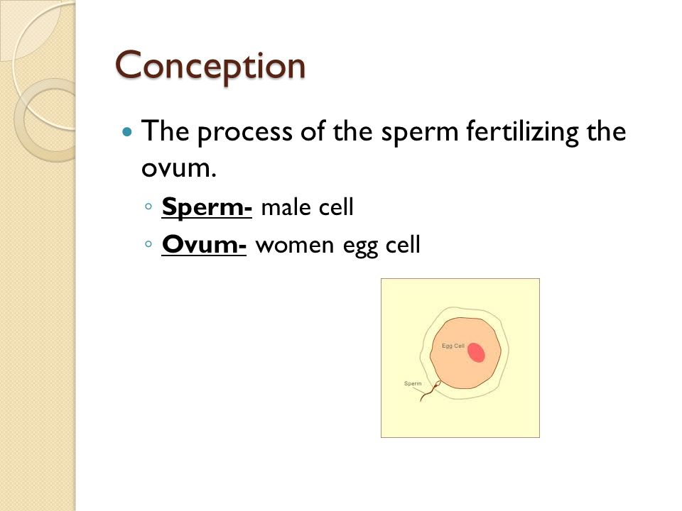 Conception Ovulation- Every 28 days an ovum is released by one of a woman's two ovaries.