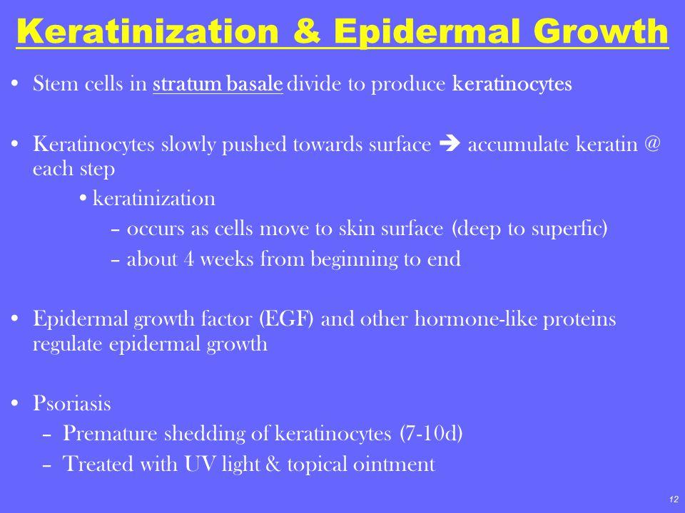 12 Keratinization & Epidermal Growth Stem cells in stratum basale divide to produce keratinocytes Keratinocytes slowly pushed towards surface  accumu