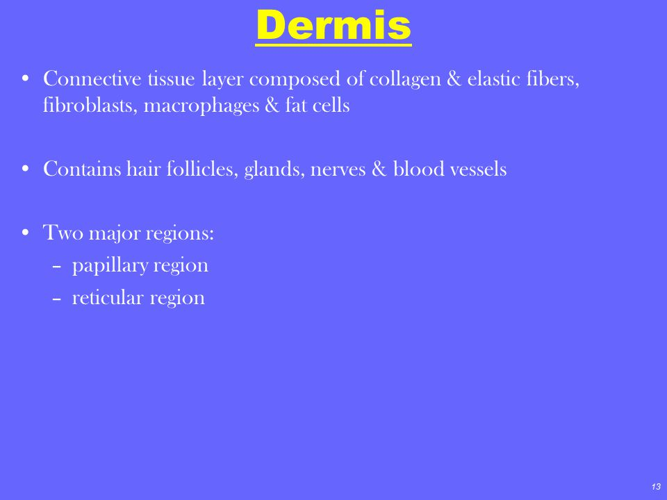 13 Dermis Connective tissue layer composed of collagen & elastic fibers, fibroblasts, macrophages & fat cells Contains hair follicles, glands, nerves
