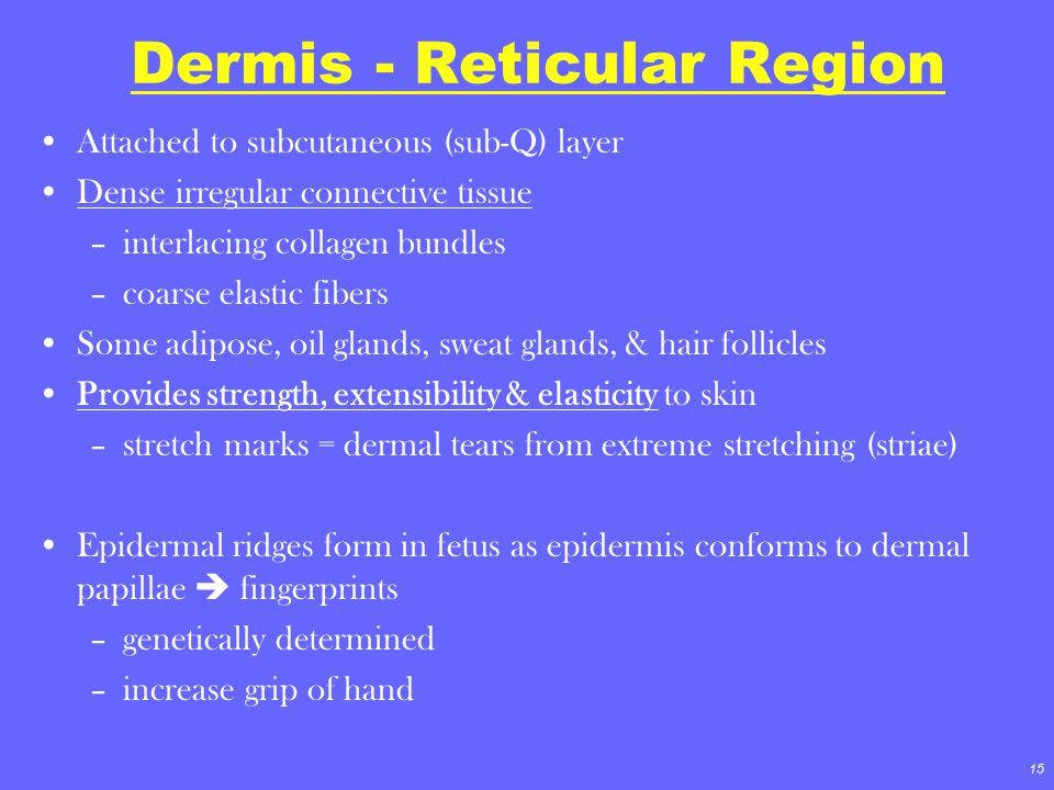 15 Dermis - Reticular Region Attached to subcutaneous (sub-Q) layer Dense irregular connective tissue –interlacing collagen bundles –coarse elastic fi
