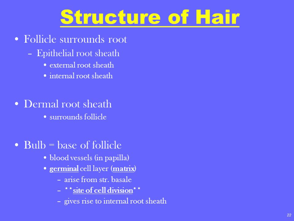 22 Structure of Hair Follicle surrounds root –Epithelial root sheath external root sheath internal root sheath Dermal root sheath surrounds follicle B