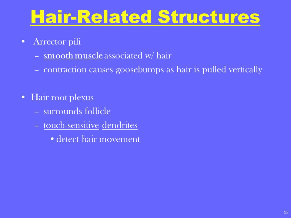 23 Hair-Related Structures Arrector pili –smooth muscle associated w/ hair –contraction causes goosebumps as hair is pulled vertically Hair root plexu