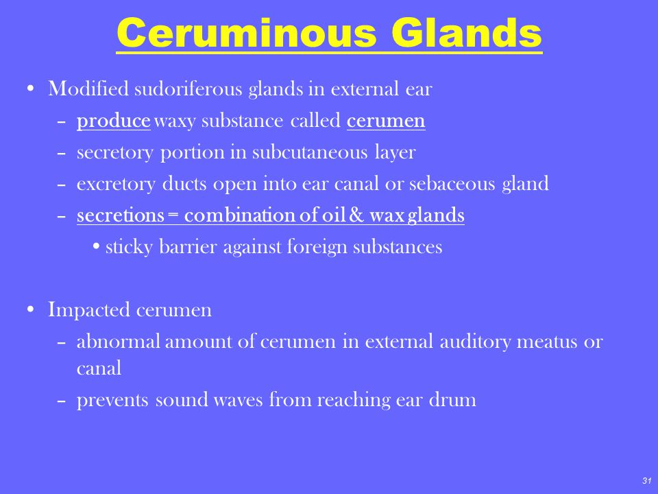 31 Ceruminous Glands Modified sudoriferous glands in external ear –produce waxy substance called cerumen –secretory portion in subcutaneous layer –exc