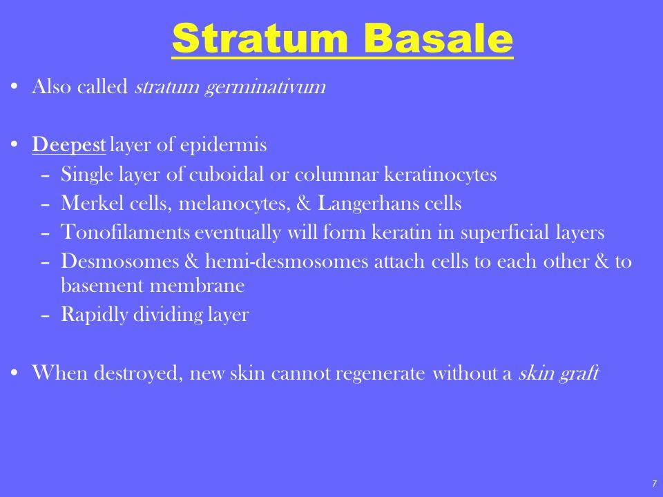 7 Stratum Basale Also called stratum germinativum Deepest layer of epidermis –Single layer of cuboidal or columnar keratinocytes –Merkel cells, melano