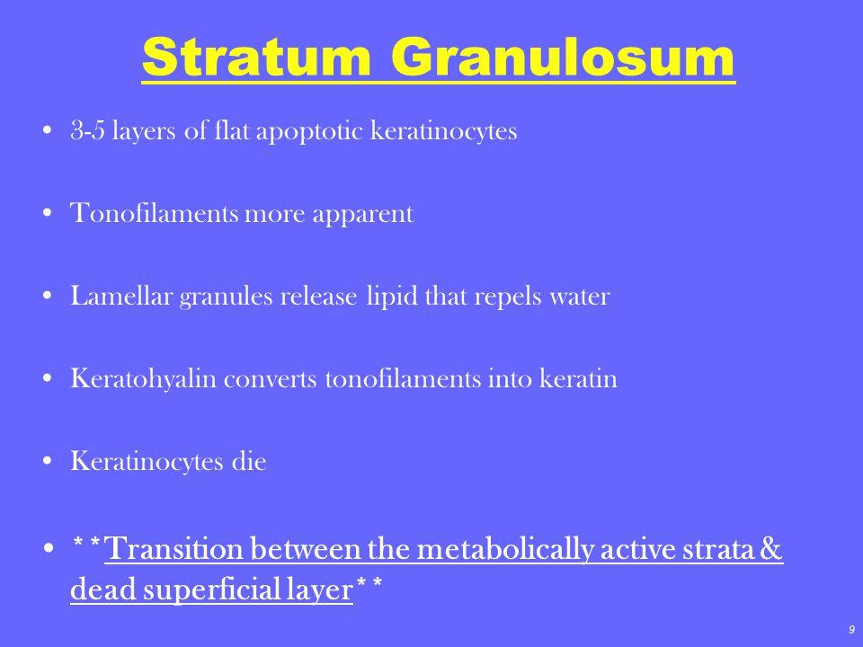 9 Stratum Granulosum 3-5 layers of flat apoptotic keratinocytes Tonofilaments more apparent Lamellar granules release lipid that repels water Keratohy