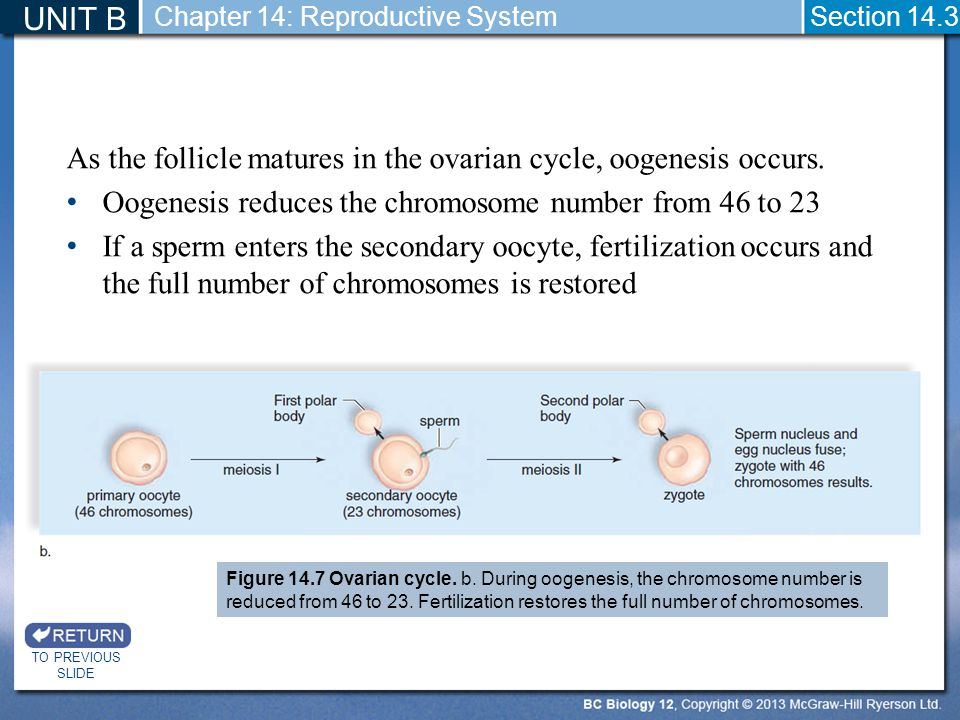 As the follicle matures in the ovarian cycle, oogenesis occurs. Oogenesis reduces the chromosome number from 46 to 23 If a sperm enters the secondary