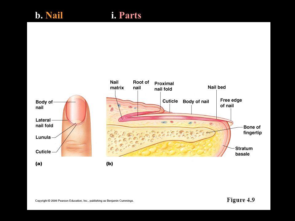 b. Naili. Parts Figure 4.9
