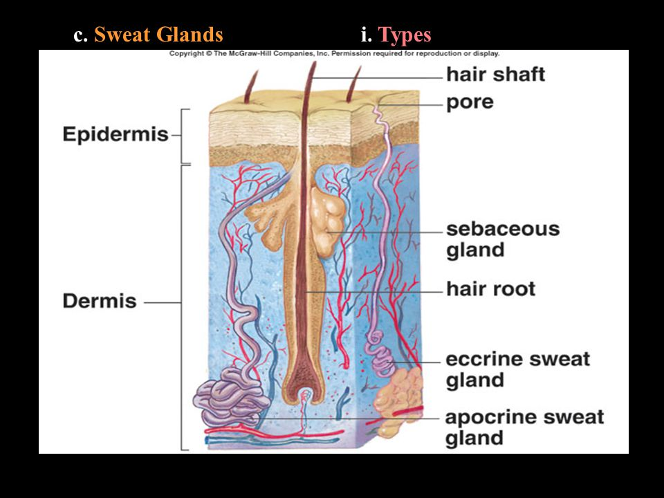 c. Sweat Glandsi. Types