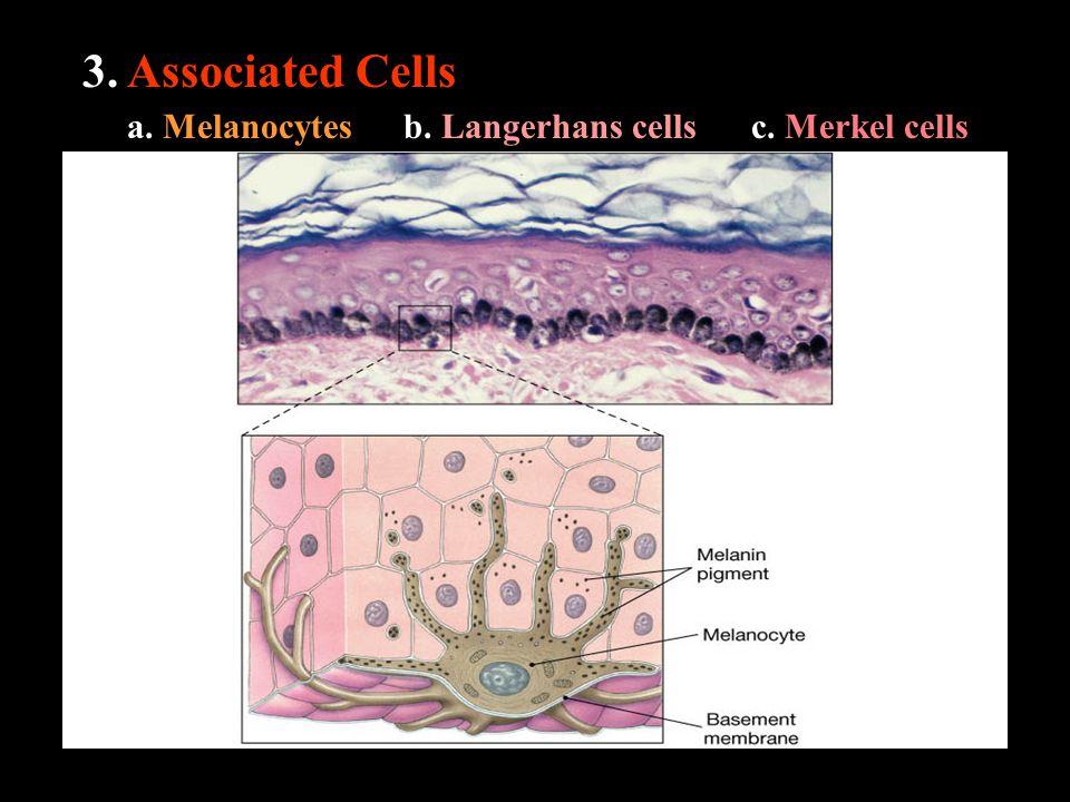 3. Associated Cells a. Melanocytesb. Langerhans cellsc. Merkel cells