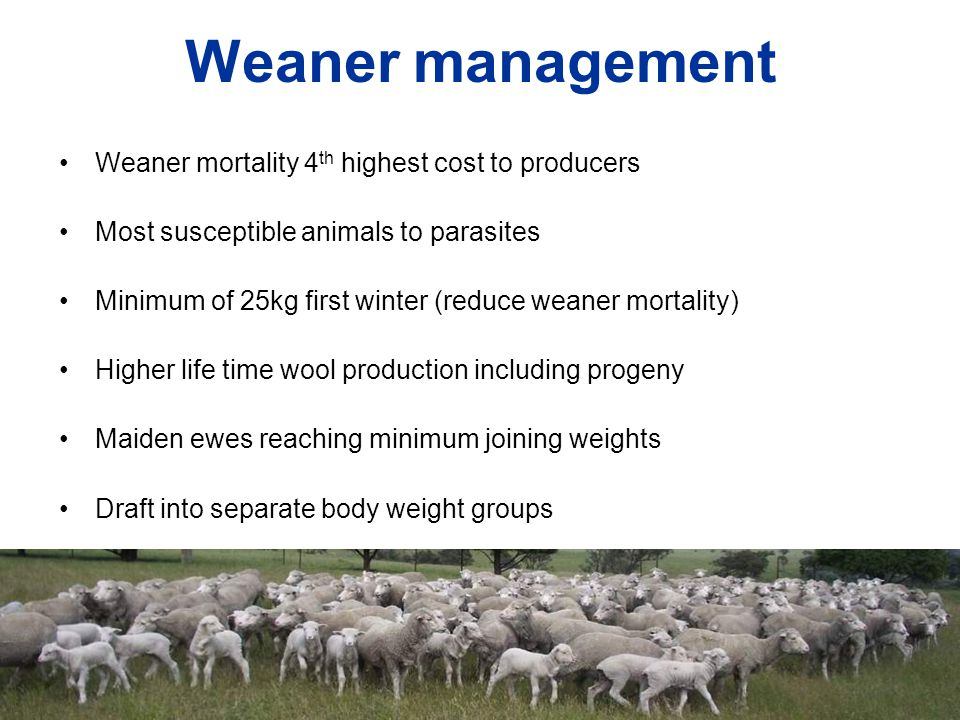 Weaner management Weaner mortality 4 th highest cost to producers Most susceptible animals to parasites Minimum of 25kg first winter (reduce weaner mo